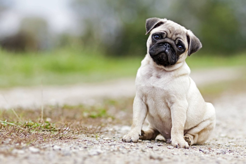 pug-animal-estimacao1